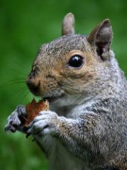Squirrel, Center Parcs