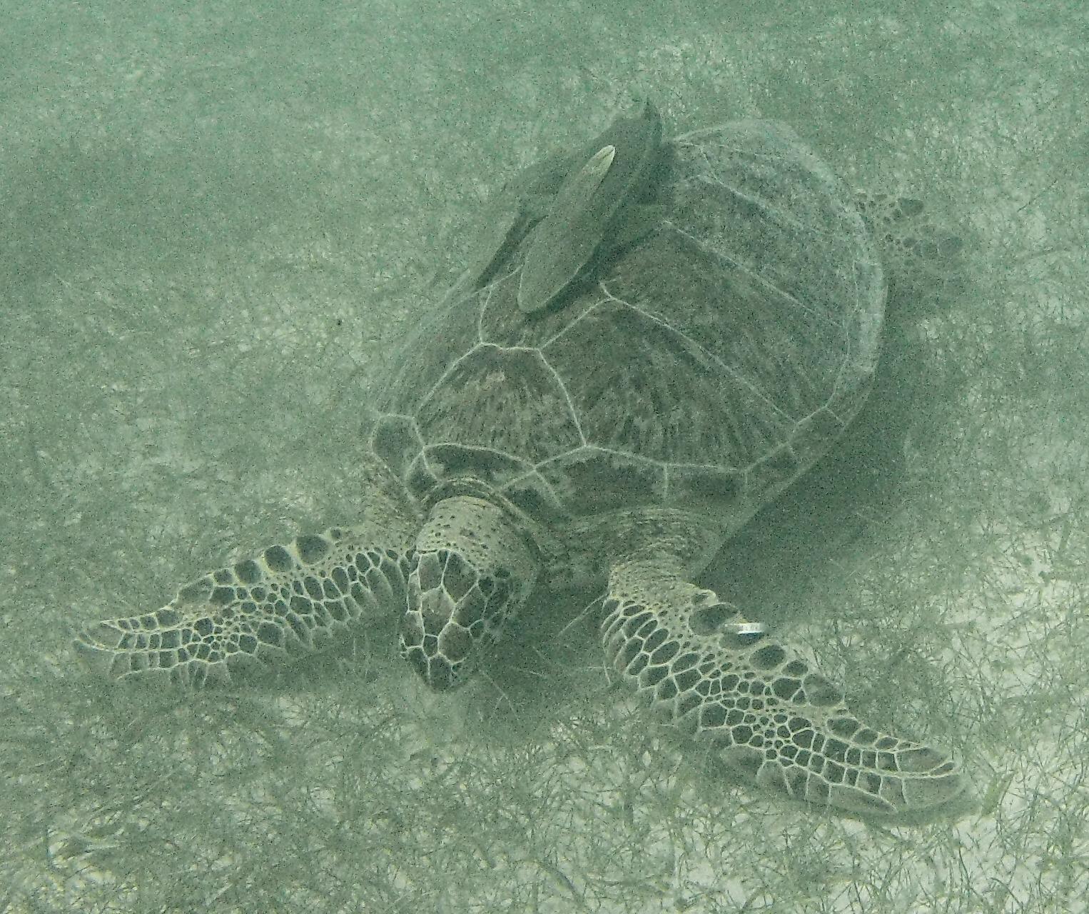 Turtle at Akumal Beach, Riviera Maya, Mexico