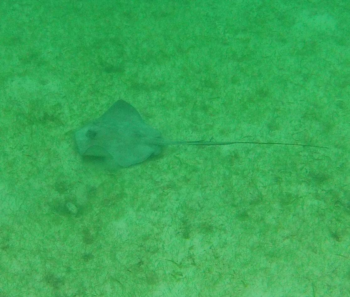 Snorkeling with rays, Akumal Beach, Mexico