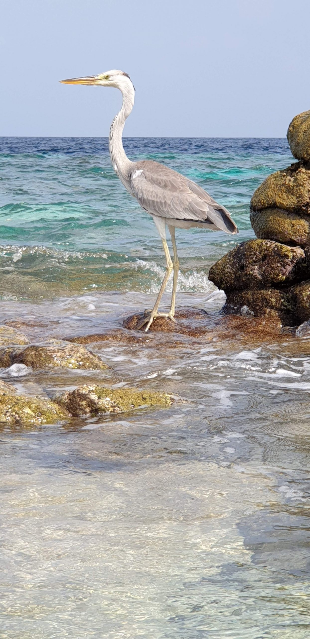 Heron, Centara Grand Maldives